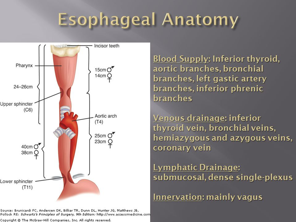 Blood Supply: Inferior thyroid, aortic branches, bronchial branches, left gastic artery branches, inferior phrenic branches Venous drainage: inferior thyroid vein, bronchial veins, hemiazygous and azygous veins, coronary vein Lymphatic Drainage: submucosal, dense single-plexus Innervation: mainly vagus