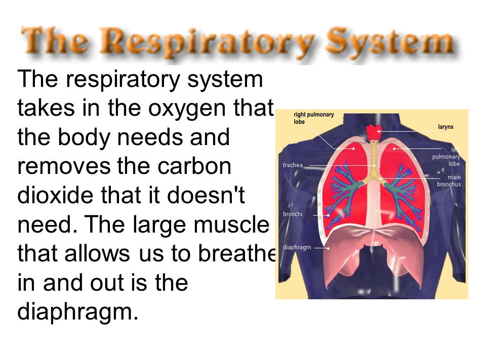 The respiratory system takes in the oxygen that the body needs and removes the carbon dioxide that it doesn't need. The large muscle that allows us to