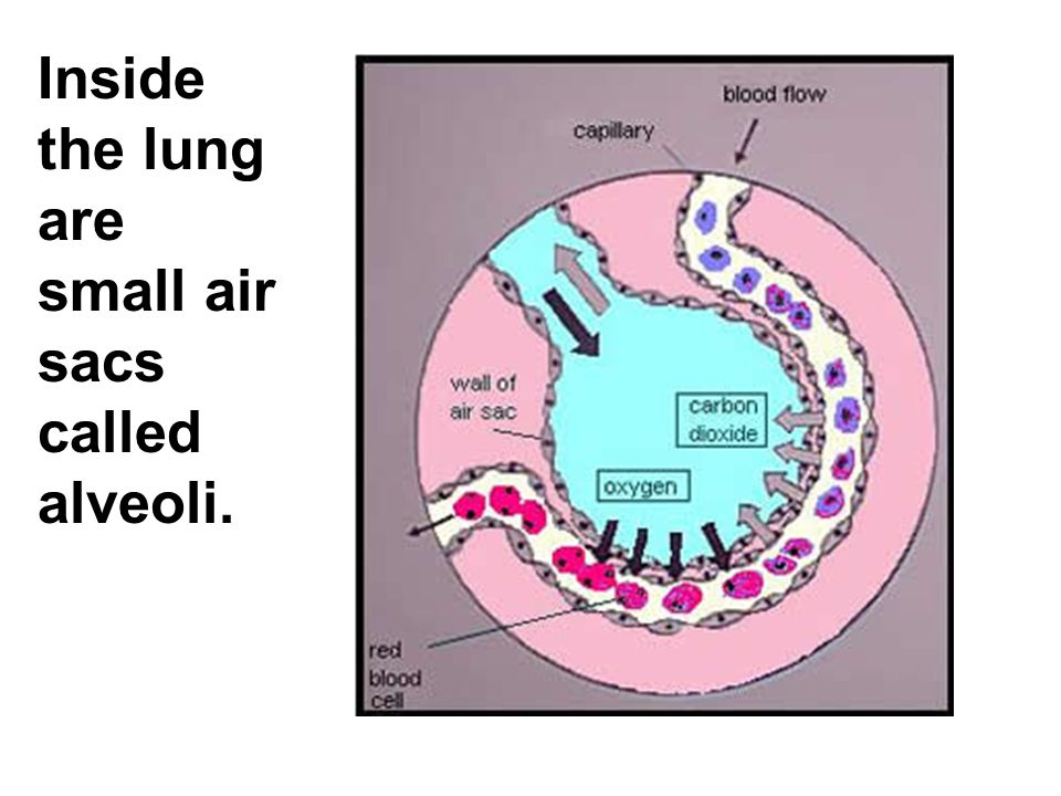 Inside the lung are small air sacs called alveoli.