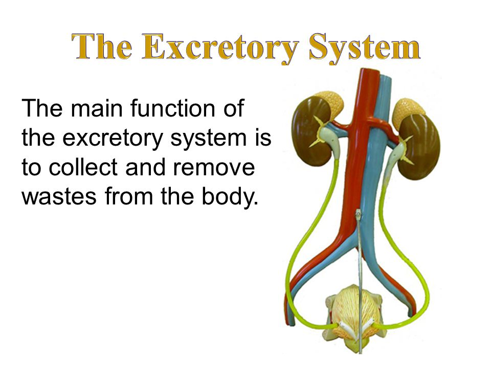 The main function of the excretory system is to collect and remove wastes from the body.