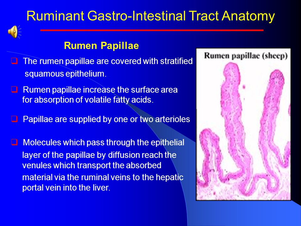 Ruminant Gastro-Intestinal Tract Anatomy Rumen   Rumen papillae grow in size and number based on cellulysis.   When rate of cellulysis is high, as