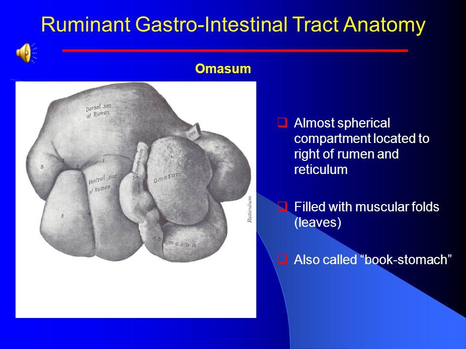 Ruminant Gastro-Intestinal Tract Anatomy Rumen Papillae   The rumen papillae are covered with stratified squamous epithelium.   Rumen papillae inc