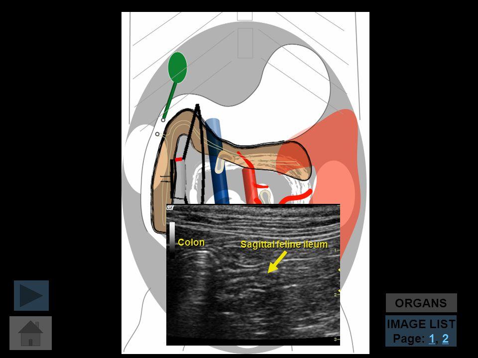 ORGANS IMAGE LIST Page: 1, 2 Sagittal feline ileum Colon