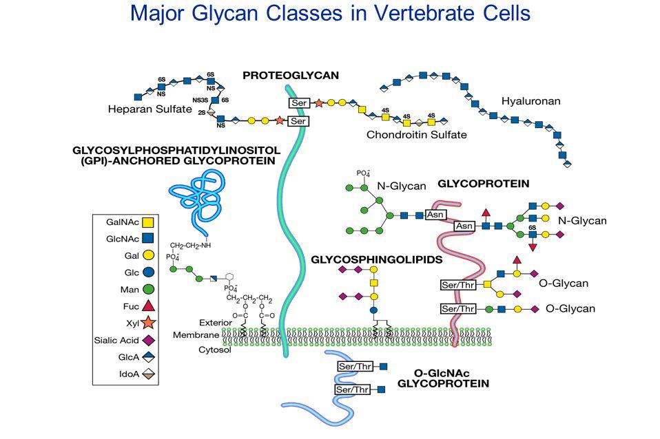 Major Glycan Classes in Vertebrate Cells