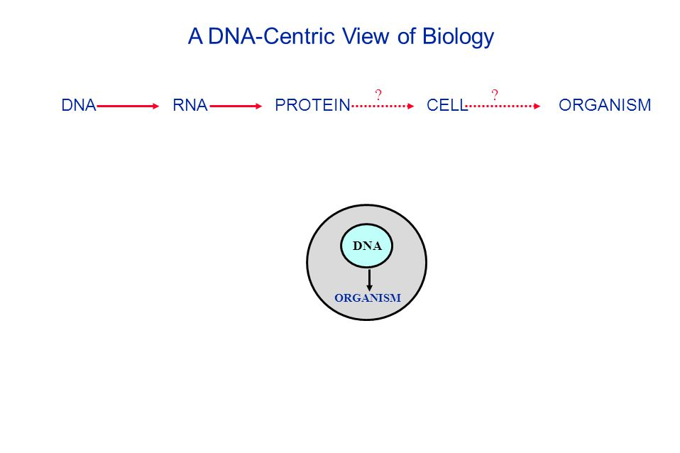 DNA RNA PROTEIN CELL ORGANISM DNA ORGANISM ?? A DNA-Centric View of Biology
