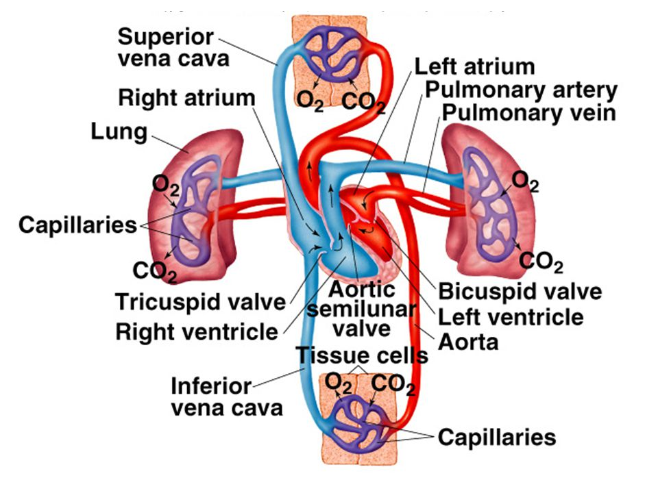 Atrioventricular Valves the left AV valve is also called the bicuspid or mitral valve, and separates the left atrium and left ventricle the right AV valve is also called the tricuspid valve, and separates the right atrium and right ventricle