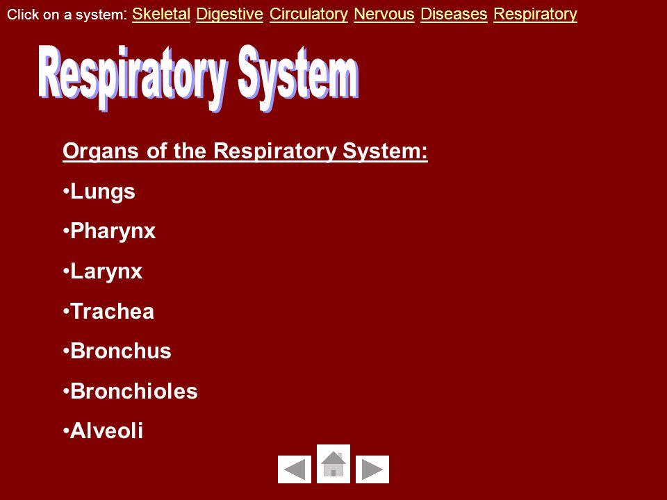 Organs of the Respiratory System: Lungs Pharynx Larynx Trachea Bronchus Bronchioles Alveoli Click on a system : Skeletal Digestive Circulatory Nervous Diseases RespiratorySkeletalDigestiveCirculatoryNervousDiseasesRespiratory