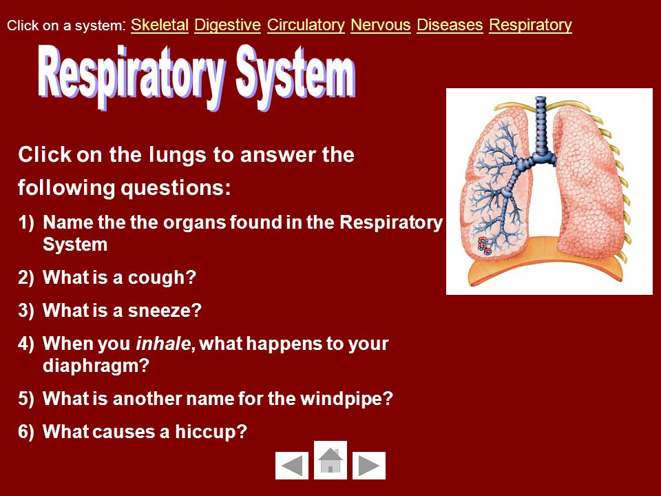 Click on the lungs to answer the following questions: 1)Name the the organs found in the Respiratory System 2)What is a cough.