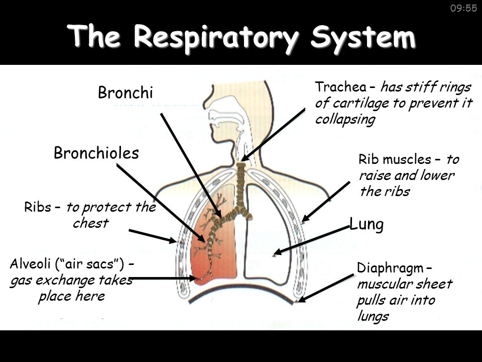 Summary Diaphragm Alveoli Gas Exchange Aerobic Glucose + Oxygen  Water + Carbon Dioxide + ENERGY Trachea Bronchioles/Bronchus Respiration release of energy Smoking/Lung Cancer Gills/Spiracles Limewater