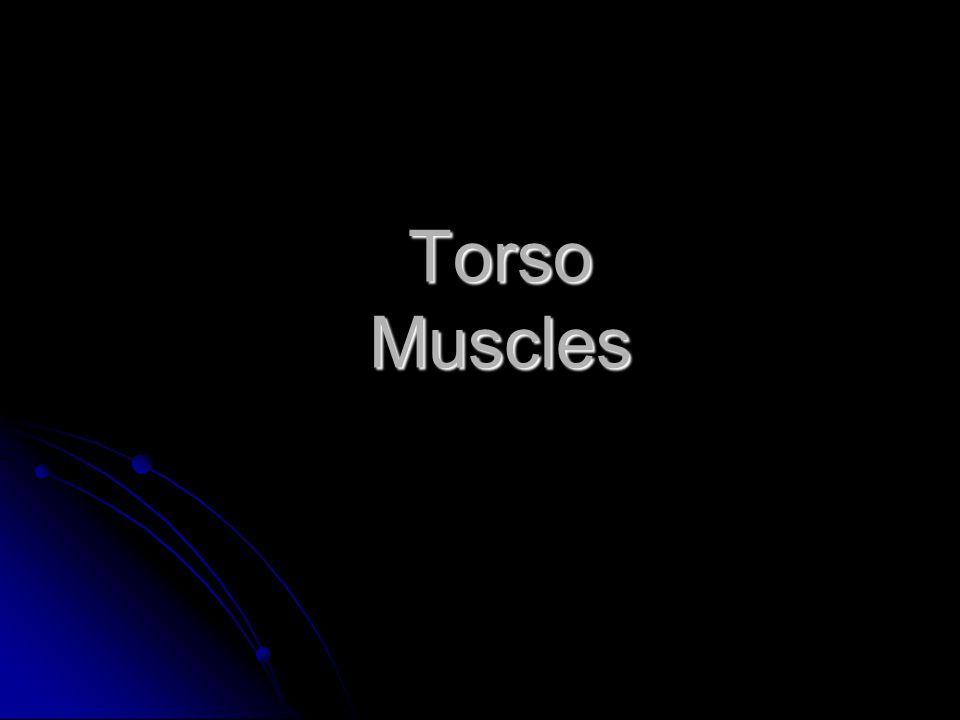 Posterior Torso Muscles trapezius deltoid latissimus dorsi infraspinatus teres minor teres major