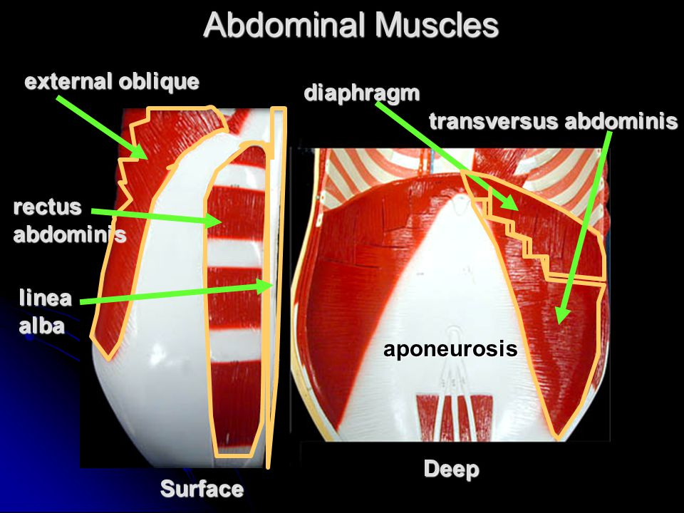 Abdominal Muscles Surface Deep external oblique diaphragm rectus abdominis transversus abdominis linea alba aponeurosis