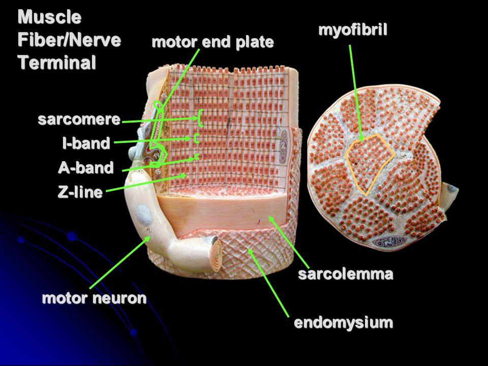 Deep Muscles (clay man) erector spinae (group) erector spinae group rhomboideus major minor quadratus lumborum quadratuslumborum