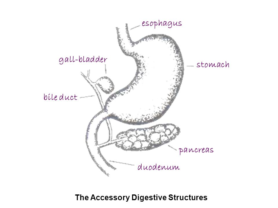 stomach pancreas duodenum bile duct gall-bladder esophagus The Accessory Digestive Structures