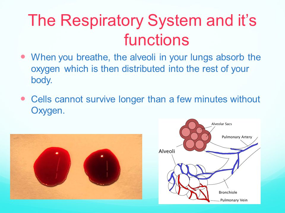 The Respiratory System and it's functions When you breathe, the alveoli in your lungs absorb the oxygen which is then distributed into the rest of your body.