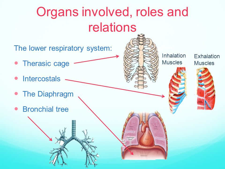 Organs involved, roles and relations The lower respiratory system: Therasic cage Intercostals The Diaphragm Bronchial tree Upper system: nose and mouth.
