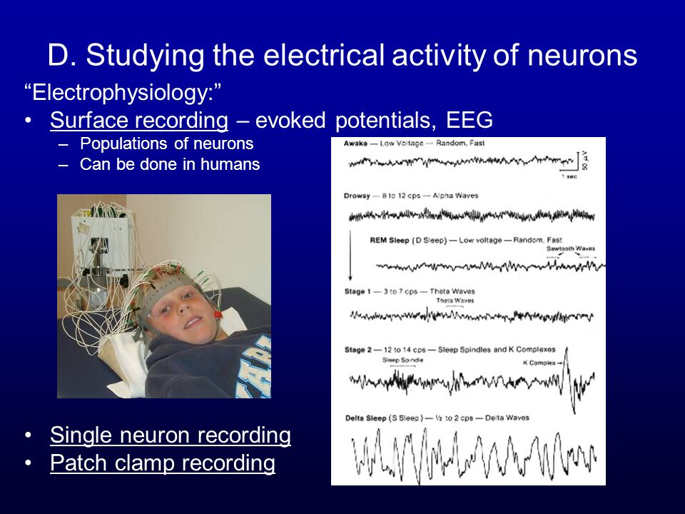 """D. Studying the electrical activity of neurons """"Electrophysiology:"""" Surface recording – evoked potentials, EEG –Populations of neurons –Can be done in"""