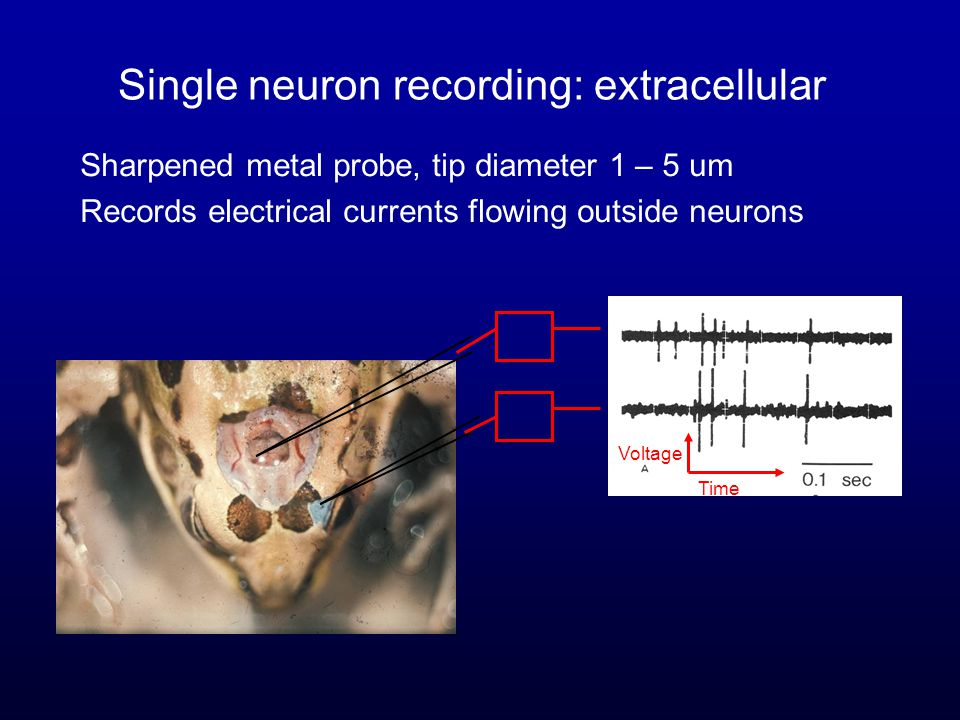 Single neuron recording: extracellular Sharpened metal probe, tip diameter 1 – 5 um Records electrical currents flowing outside neurons Voltage Time