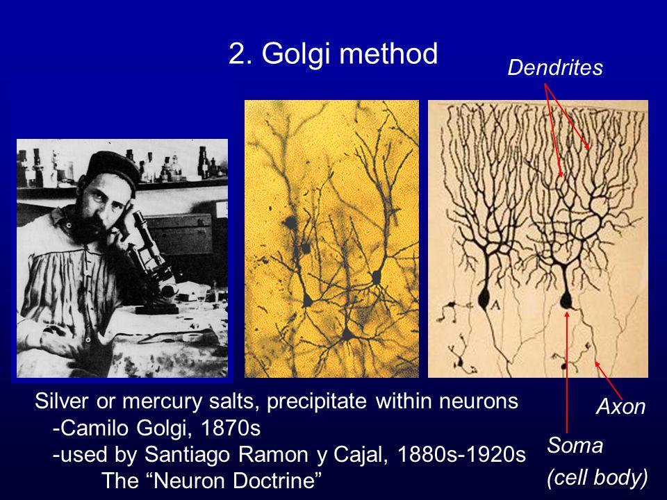 "2. Golgi method Silver or mercury salts, precipitate within neurons -Camilo Golgi, 1870s -used by Santiago Ramon y Cajal, 1880s-1920s The ""Neuron Doct"