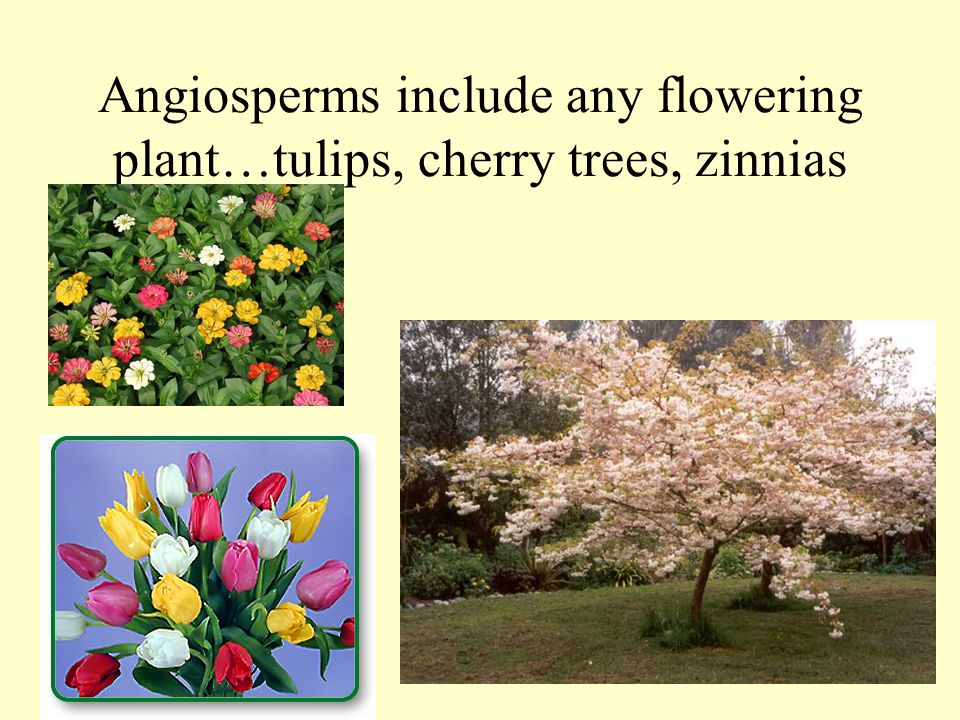 Angiosperms include any flowering plant…tulips, cherry trees, zinnias