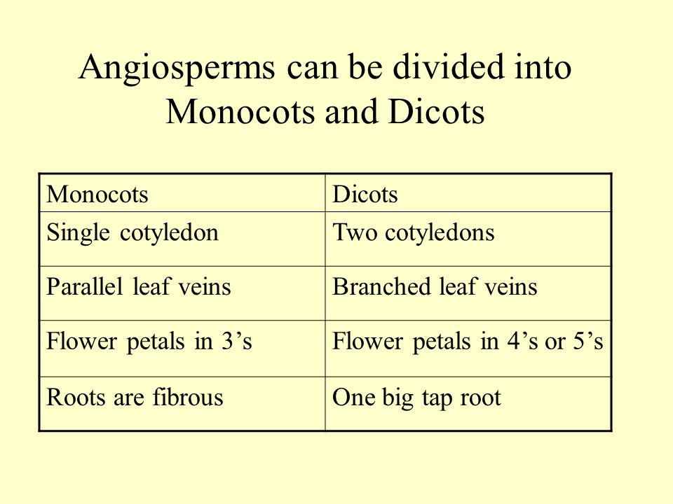 Angiosperms can be divided into Monocots and Dicots MonocotsDicots Single cotyledonTwo cotyledons Parallel leaf veinsBranched leaf veins Flower petals in 3'sFlower petals in 4's or 5's Roots are fibrousOne big tap root
