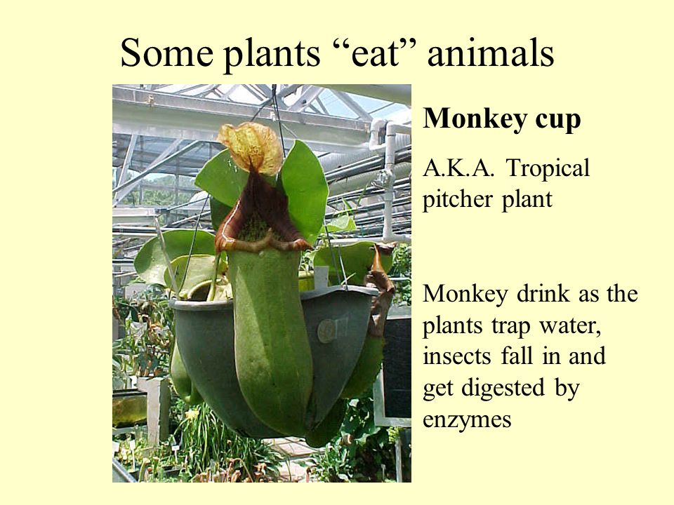 Some plants eat animals Monkey cup A.K.A.