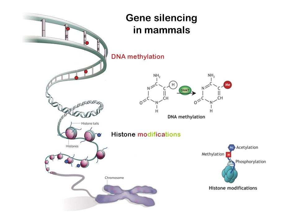Gene silencing in mammals DNA methylation Histone modifications