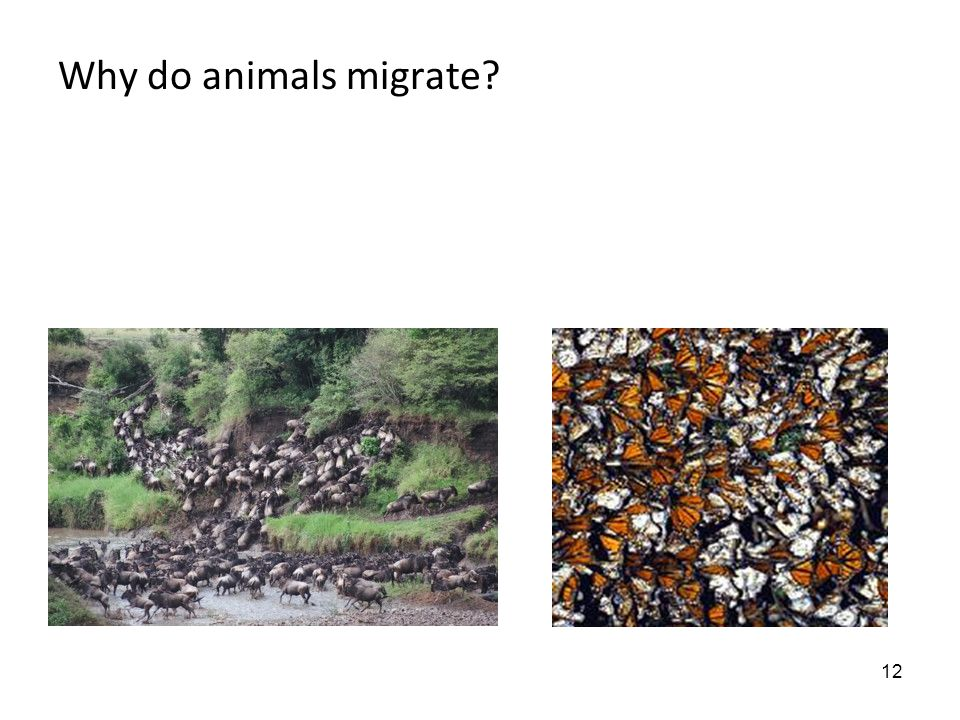 12 Why do animals migrate?