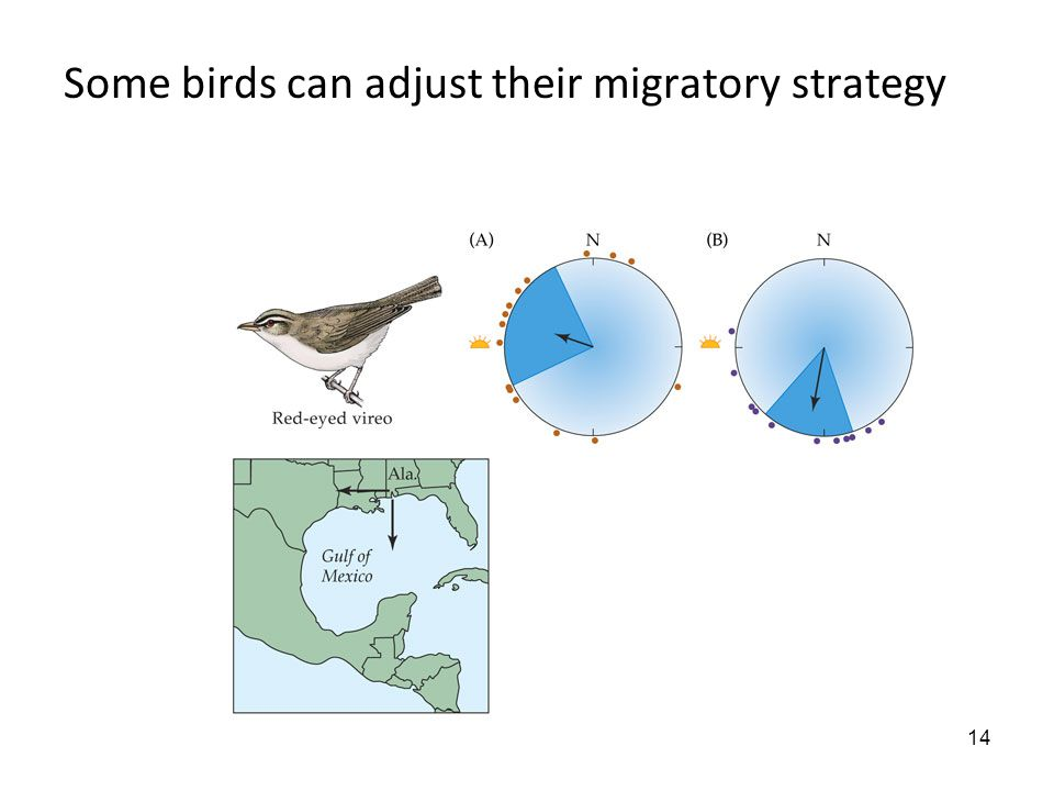 14 Some birds can adjust their migratory strategy