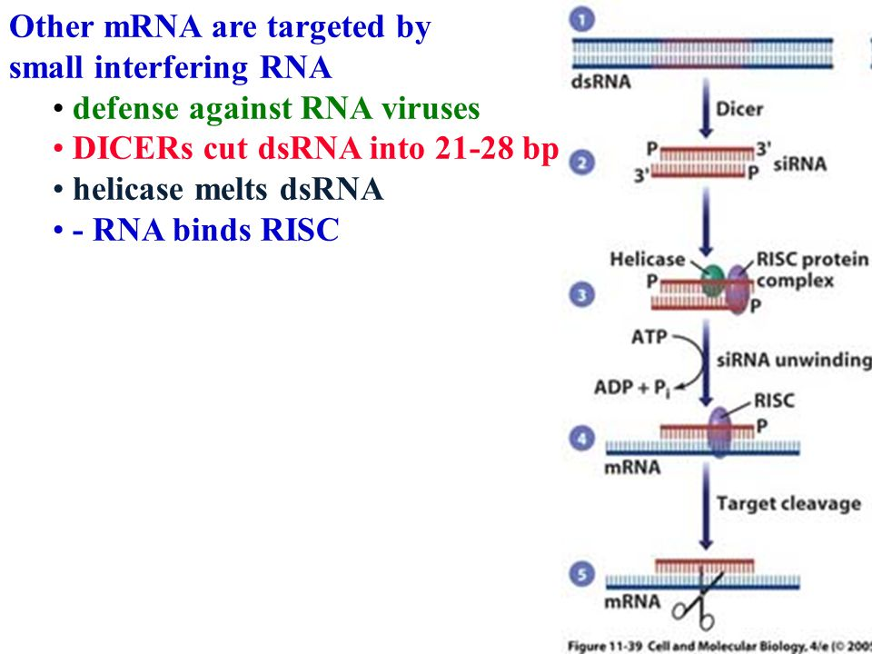 Other mRNA are targeted by small interfering RNA defense against RNA viruses DICERs cut dsRNA into 21-28 bp helicase melts dsRNA - RNA binds RISC