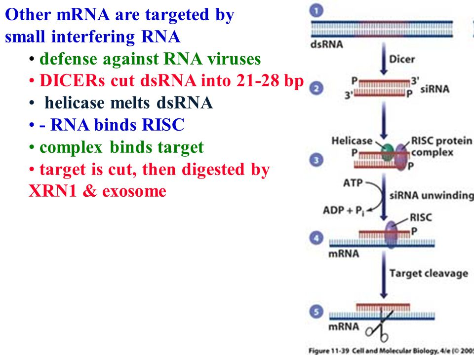 Other mRNA are targeted by small interfering RNA defense against RNA viruses DICERs cut dsRNA into 21-28 bp helicase melts dsRNA - RNA binds RISC complex binds target target is cut, then digested by XRN1 & exosome