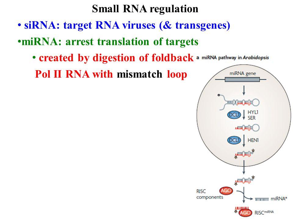 Small RNA regulation siRNA: target RNA viruses (& transgenes) miRNA: arrest translation of targets created by digestion of foldback Pol II RNA with mismatch loop