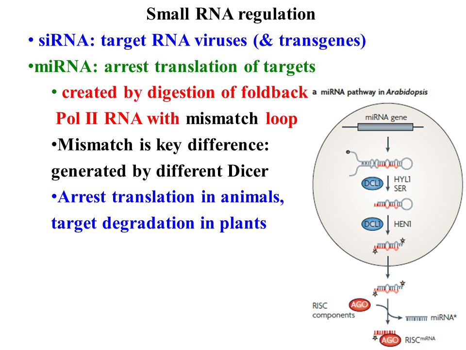 Small RNA regulation siRNA: target RNA viruses (& transgenes) miRNA: arrest translation of targets created by digestion of foldback Pol II RNA with mismatch loop Mismatch is key difference: generated by different Dicer Arrest translation in animals, target degradation in plants