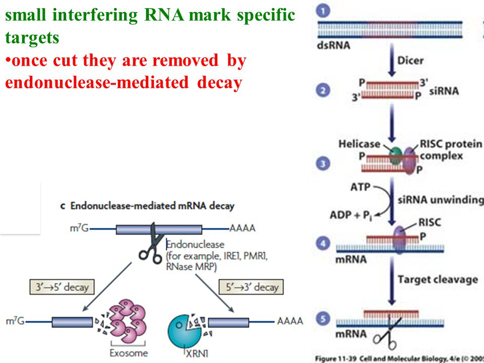 small interfering RNA mark specific targets once cut they are removed by endonuclease-mediated decay