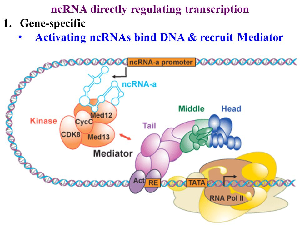 ncRNA directly regulating transcription 1.Gene-specific Activating ncRNAs bind DNA & recruit Mediator