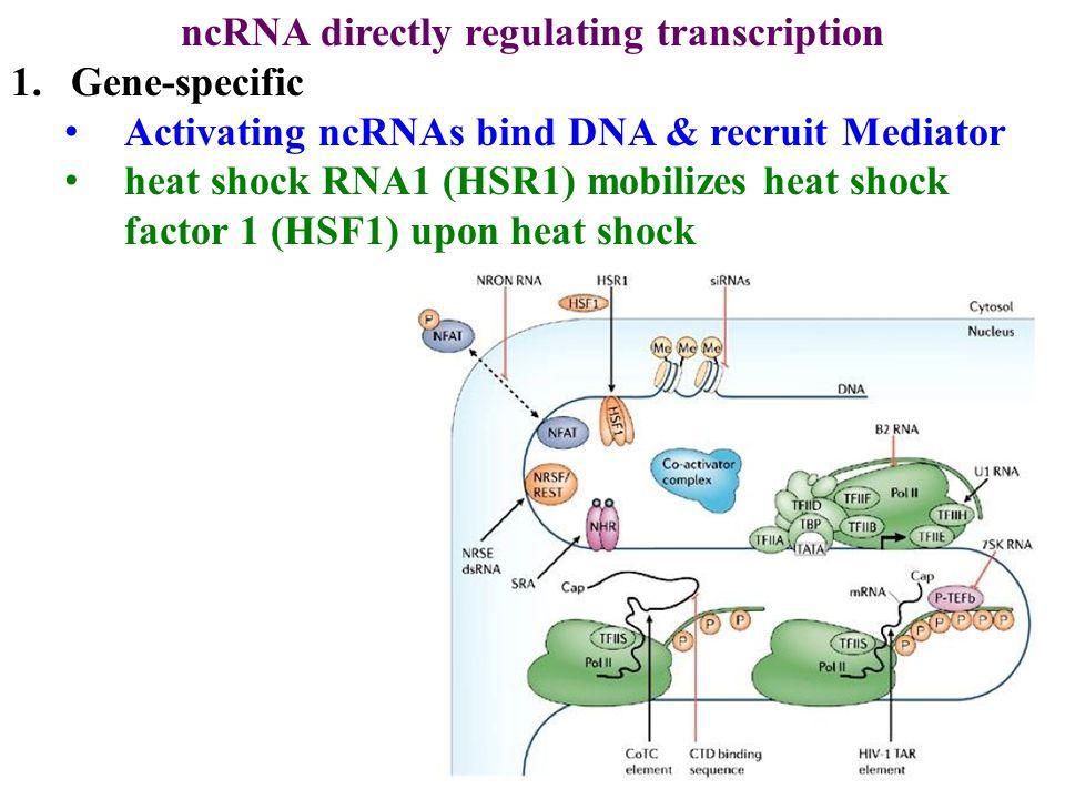 ncRNA directly regulating transcription 1.Gene-specific Activating ncRNAs bind DNA & recruit Mediator heat shock RNA1 (HSR1) mobilizes heat shock factor 1 (HSF1) upon heat shock