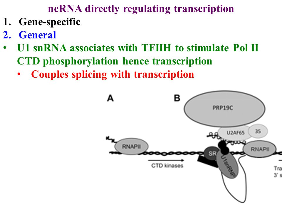 ncRNA directly regulating transcription 1.Gene-specific 2.General U1 snRNA associates with TFIIH to stimulate Pol II CTD phosphorylation hence transcription Couples splicing with transcription