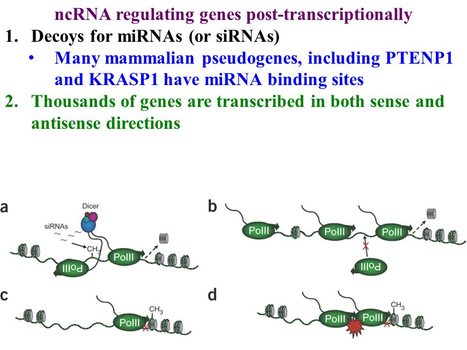 ncRNA regulating genes post-transcriptionally 1.Decoys for miRNAs (or siRNAs) Many mammalian pseudogenes, including PTENP1 and KRASP1 have miRNA binding sites 2.Thousands of genes are transcribed in both sense and antisense directions