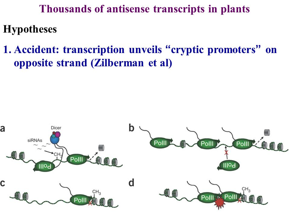 Thousands of antisense transcripts in plants Hypotheses 1.Accident: transcription unveils cryptic promoters on opposite strand (Zilberman et al)