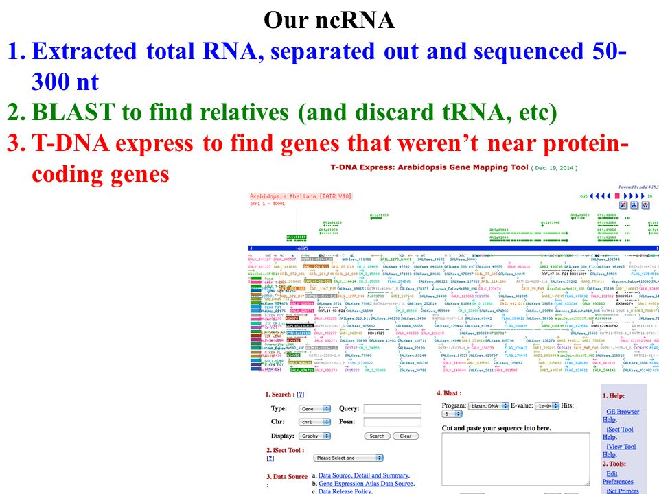 Our ncRNA 1.Extracted total RNA, separated out and sequenced 50- 300 nt 2.BLAST to find relatives (and discard tRNA, etc) 3.T-DNA express to find genes that weren't near protein- coding genes