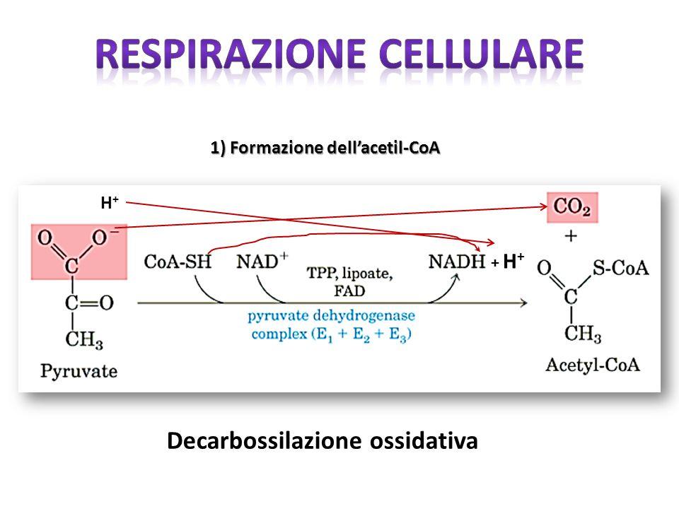 H+H+ 1) Formazione dell'acetil-CoA + H + Decarbossilazione ossidativa