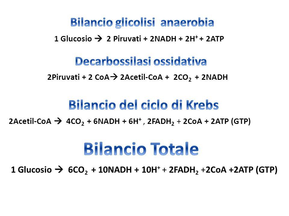  2Acetil-CoA  4CO 2 + 6NADH + 6H +, 2FADH 2 + 2CoA + 2ATP (GTP)  1 Glucosio  2 Piruvati + 2NADH + 2H + + 2ATP 2Piruvati + 2 CoA  2Acetil-CoA + 2C