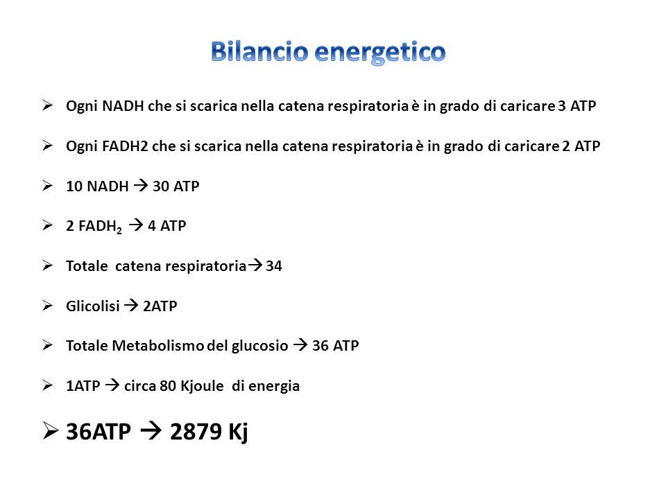  Ogni NADH che si scarica nella catena respiratoria è in grado di caricare 3 ATP  Ogni FADH2 che si scarica nella catena respiratoria è in grado di