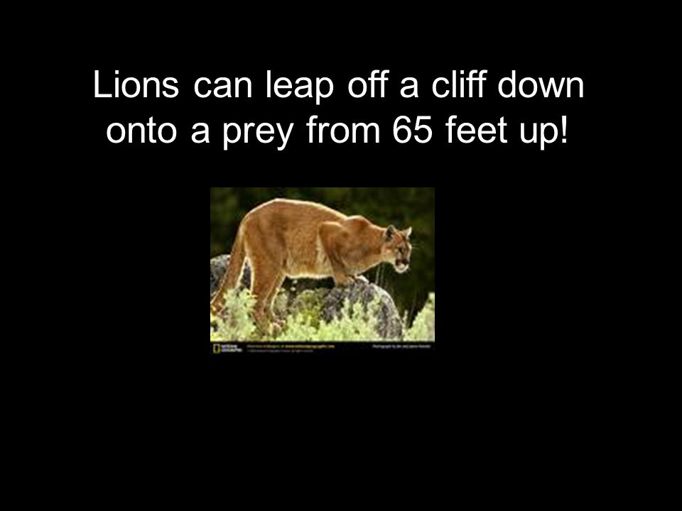Lions can leap off a cliff down onto a prey from 65 feet up!