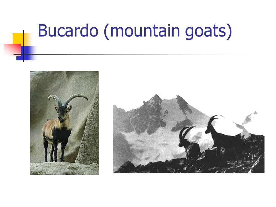 Bucardo (mountain goats)