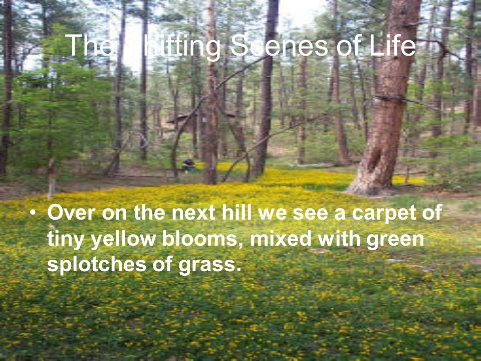 Over on the next hill we see a carpet of tiny yellow blooms, mixed with green splotches of grass. The Shifting Scenes of Life
