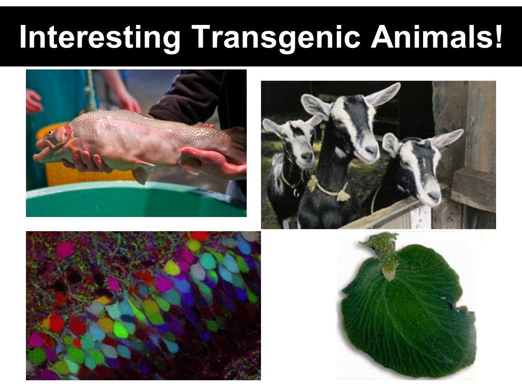 Interesting Transgenic Animals!