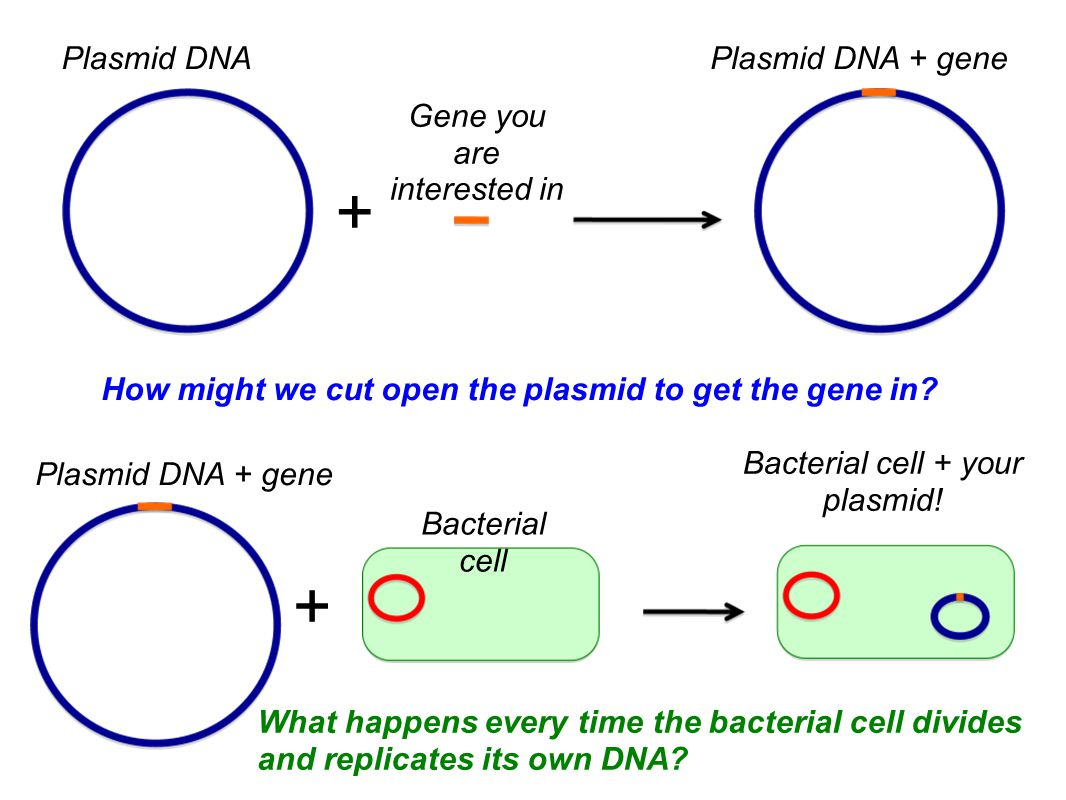 Plasmid DNAPlasmid DNA + gene How might we cut open the plasmid to get the gene in.