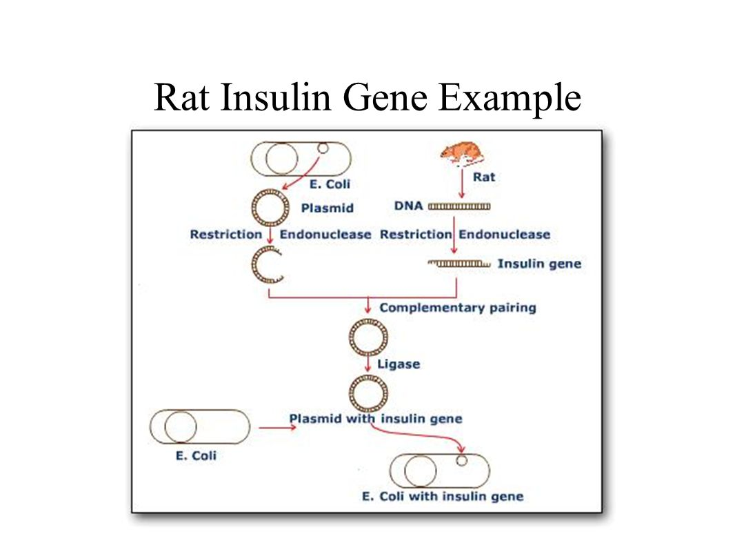 Rat Insulin Gene Example