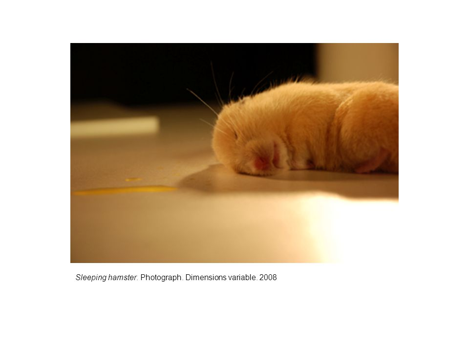 Sleeping hamster. Photograph. Dimensions variable. 2008