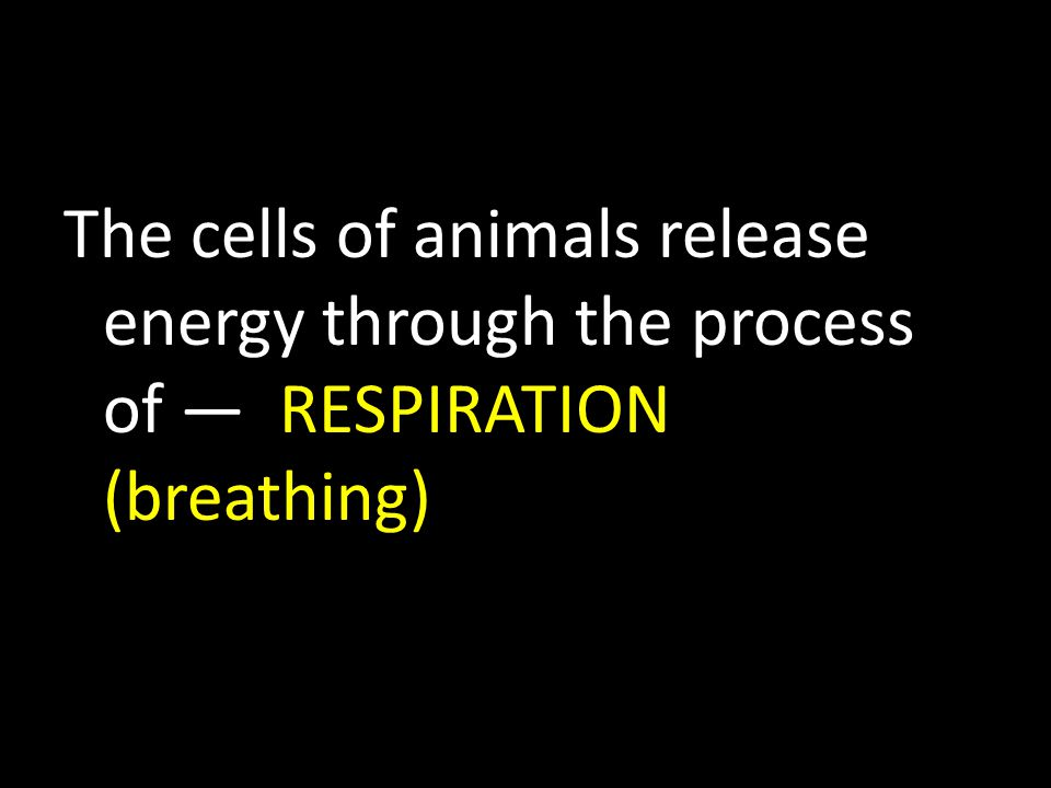 The cells of animals release energy through the process of — RESPIRATION (breathing)